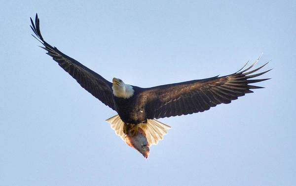 Photograph - Hungry Eagle by Sumoflam Photography