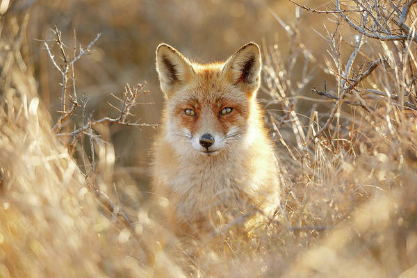 Close Encounters Wall Art - Photograph - Hungry Eyes - Red Fox In The Bushes by Roeselien Raimond