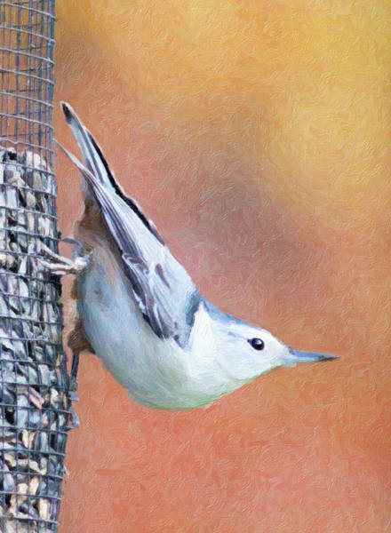Photograph - Hungry Nuthatch by Sue Collura