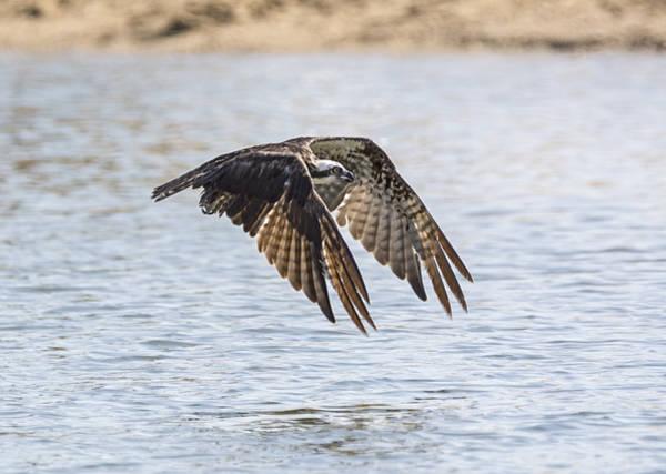 Photograph - Hungry Osprey by Loree Johnson