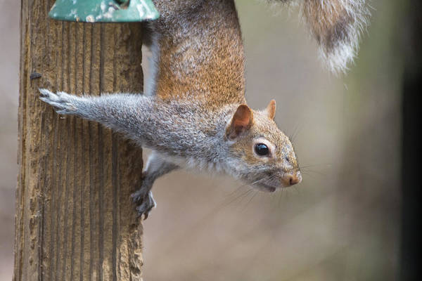 Photograph - Hungry Squirrel  by Joseph Caban