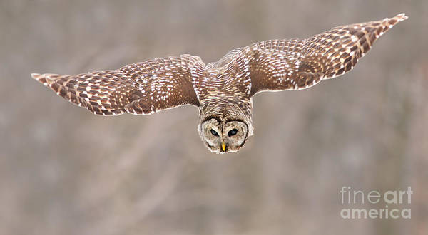Owl In Flight Photograph - Hunting Barred Owl  by Mircea Costina Photography