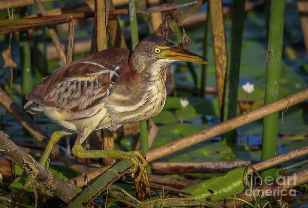 Photograph - Hunting Bittern by Tom Claud