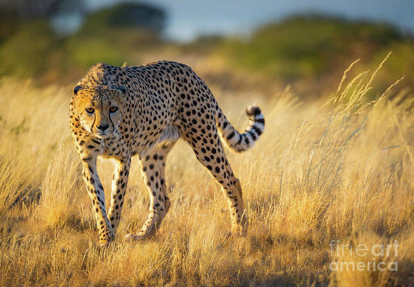Photograph - Hunting Cheetah by Inge Johnsson