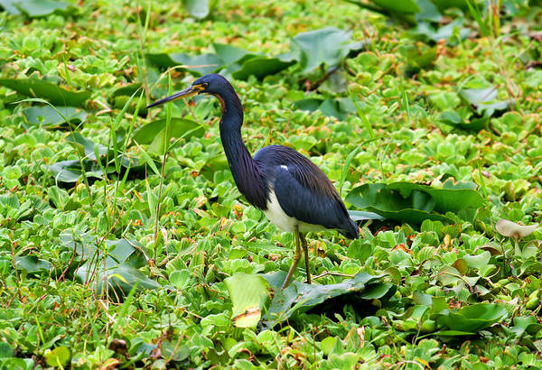 Photograph - Tricolor Heron Hunting by Anthony Jones