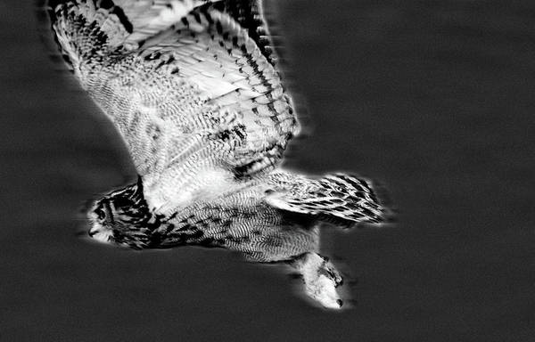 Photograph - Hunting Flight  by Cliff Norton