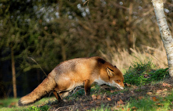 Photograph - Hunting Fox  by Cliff Norton
