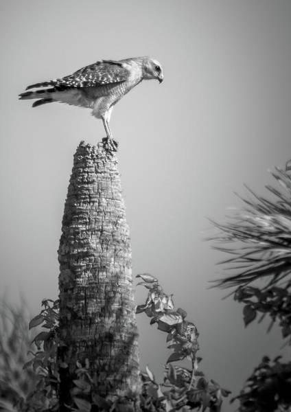 Photograph - Hunting Hawk by David Hart