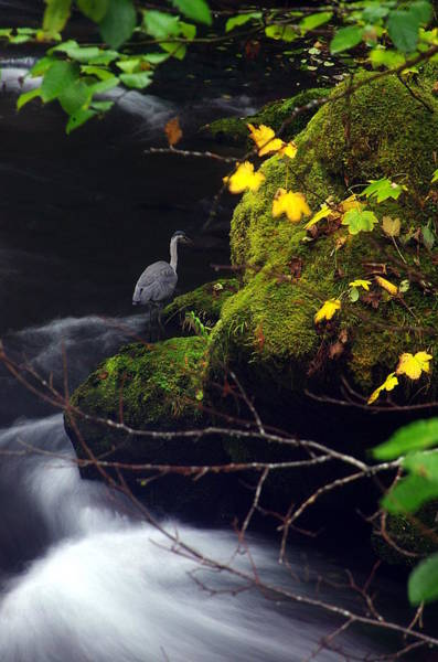 Photograph - Hunting Heron by Ken Dietz
