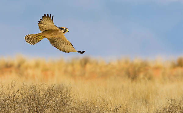 Wall Art - Photograph - Hunting Lanner Falcon by Basie Van Zyl