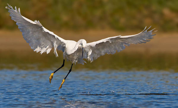 Wall Art - Photograph - Hunting Little Egret by Basie Van Zyl