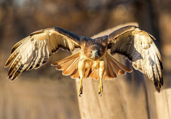 Photograph - Hunting Red-tailed Hawk by Judi Dressler