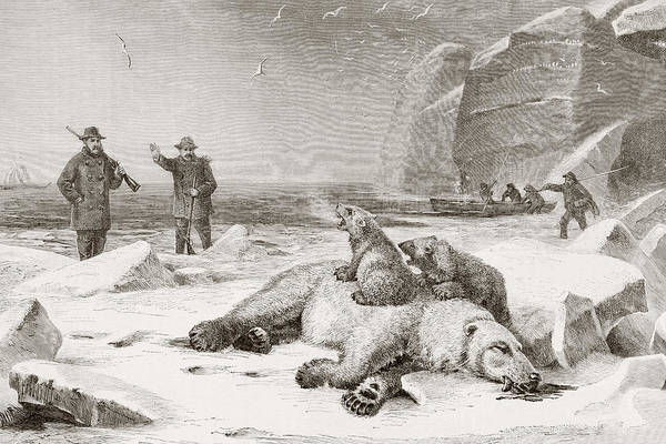 Polar Bear Drawing - Hunting The Polar Bear  Ursus Maritimus by Vintage Design Pics