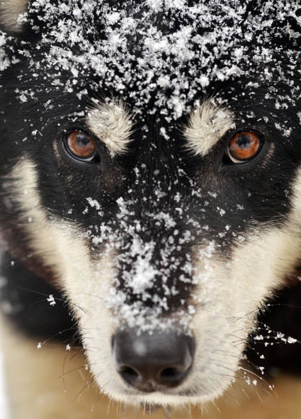 Photograph - Husky And Snow Close-up by Steve Somerville