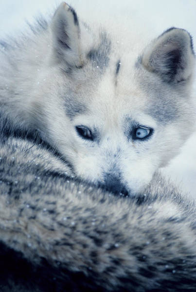 Photograph - Husky Curled Up by Steve Somerville
