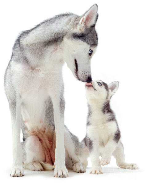 Photograph - Husky Pup Licking Mother's Muzzle by Warren Photographic