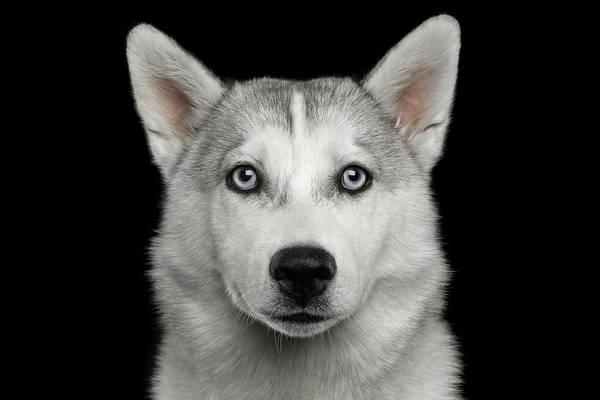 Photograph - Husky Puppy by Sergey Taran