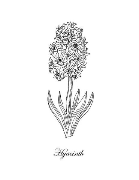 Drawing - Hyacinth Flower Botanical Drawing Black And White by Irina Sztukowski