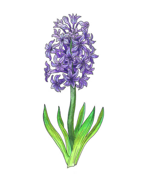 Botanic Painting - Hyacinth Flower Botanical Watercolor by Irina Sztukowski