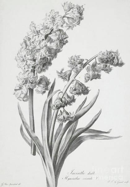 Elegant Drawing - Hyacinth by Gerard van Spaendonck