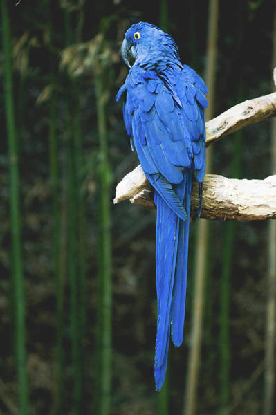 Hyacinth Macaw Photograph - Hyacinth Macaw by Happy Home Artistry
