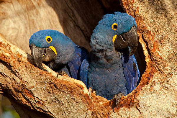 Photograph - Hyacinth Macaw Pair In Nest by Aivar Mikko