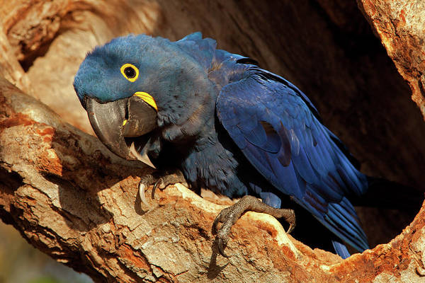 Photograph - Hyacinth Macaw Watching by Aivar Mikko