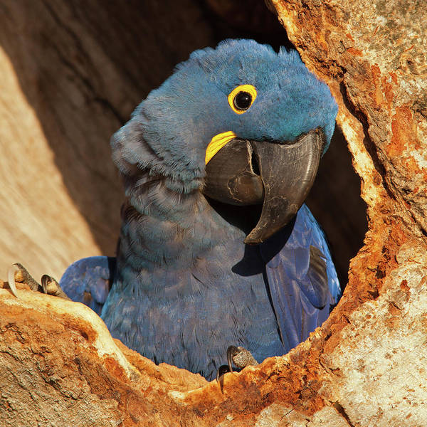 Photograph - Hyacinth Macaw In Porto Jofre by Aivar Mikko