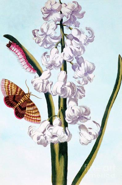 Wall Art - Painting - Hyacinth by Pierre-Joseph Buchoz