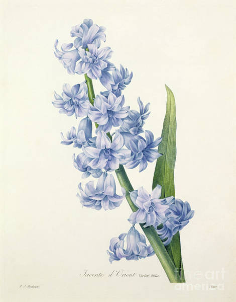 Stem Wall Art - Drawing - Hyacinth by Pierre Joseph Redoute