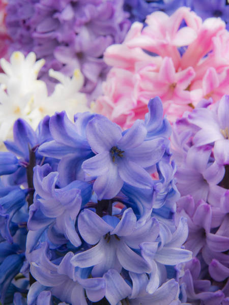 Wall Art - Photograph - Hyacinth Pop by Eggers Photography