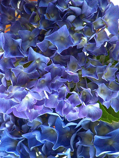 Photograph - Hyacinth by Steven Huszar
