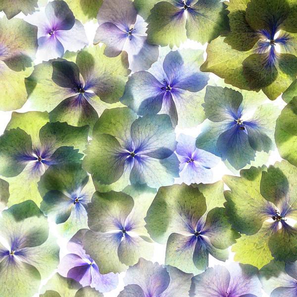 Wall Art - Photograph - Hydrangae Squared by Rebecca Cozart