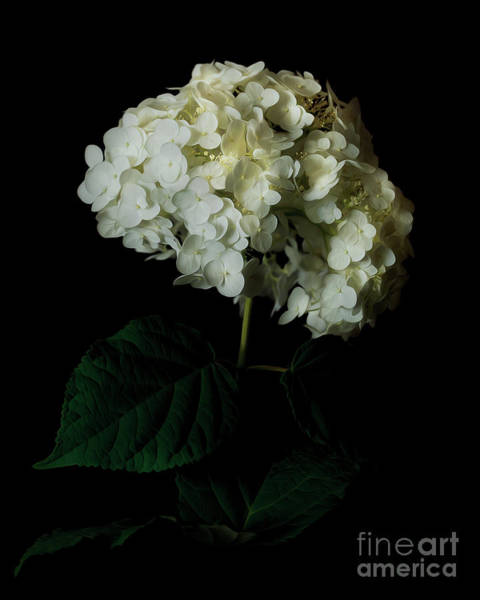 Photograph - Hydrangea 1 by Tim Wemple