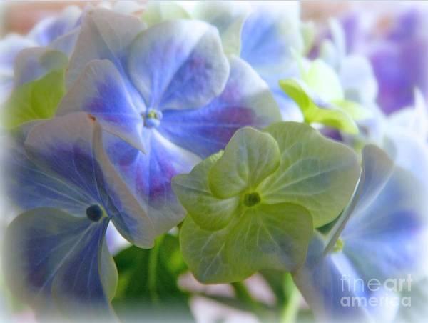 Photograph - Hydrangea Beauty by Morag Bates