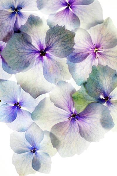 Wall Art - Photograph - Hydrangea Bloom by Rebecca Cozart