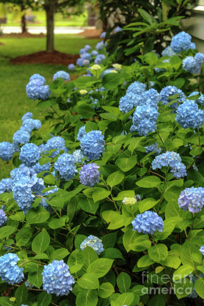 Photograph - Hydrangea Blossom Trail by Dale Powell