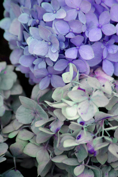 Photograph - Hydrangea Blossoms 1671 H_2 by Steven Ward