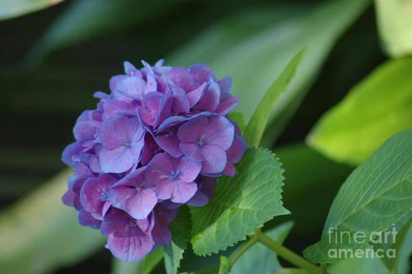 Photograph - Hydrangea by Donna Bentley