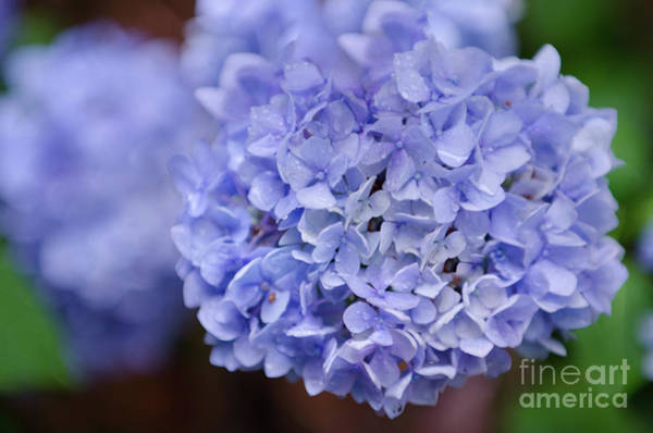 Photograph - Hydrangea Flower Petals by Dale Powell
