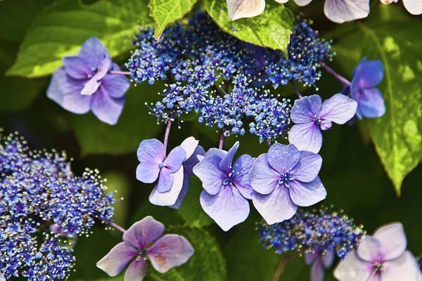 Photograph - Hydrangea Flowers by Tatiana Travelways