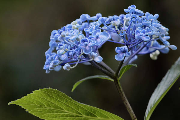 Photograph - Hydrangea In Blue by Belinda Greb