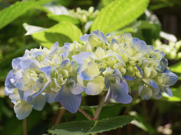 Photograph - Hydrangea In The Morning Sunlight by MM Anderson