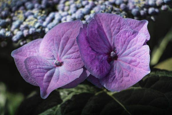 Photograph - Hydrangea Macrophylla - Hortensia by Cristina Stefan