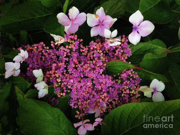 Photograph - Hydrangea by Melinda Hughes-Berland