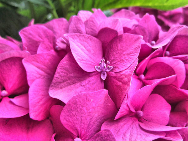 Photograph - Hydrangea Romance by Spencer Hughes