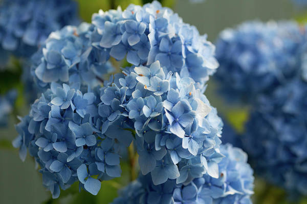 Photograph - Hydrangea Sunrise by Mary Jo Allen