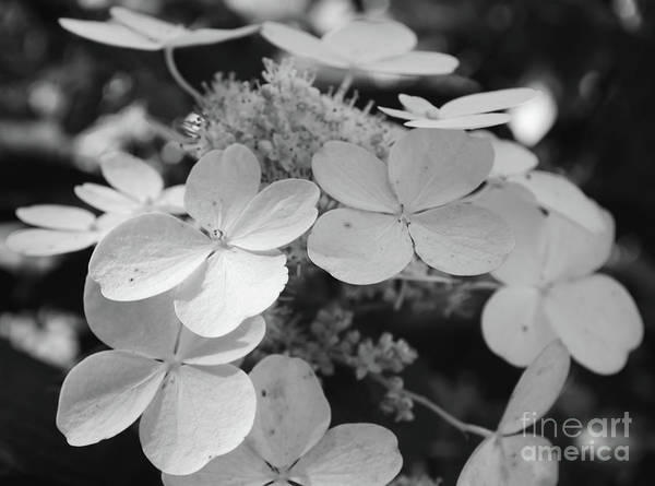 Photograph - Hydrangeas Black And White by Andrea Anderegg