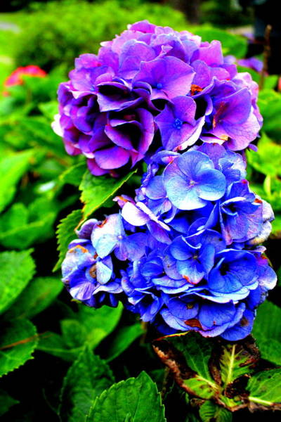 Photograph - Hydrangeas Blue Purple by Cynthia Guinn