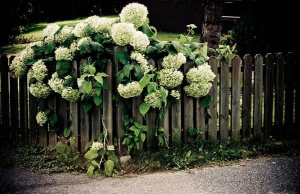 Yard Photograph - Hydrangeas by Maggie Terlecki